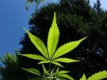 Marijuana Dispensary in Sault Ste  Marie, ON - SHADED CO
